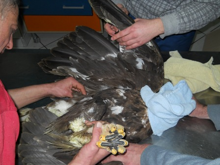 poisoned Golden Eagle